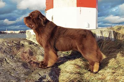 Собака породы ньюфаундленд Этна (Aetna vom Riesrand) питомник Darkflight (Даркфлайт)